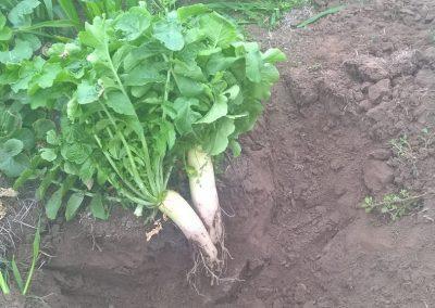 Cover Cropping and Sub-Soil Improvement