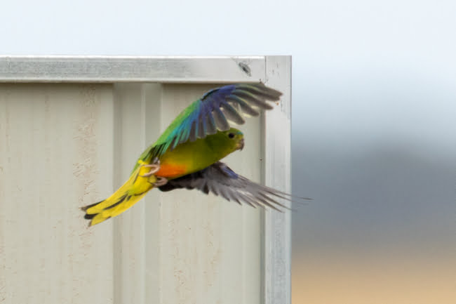 CRITICALLY ENDANGERED ORANGE-BELLIED PARROTS RELEASED FROM LAKE CONNEWARRE
